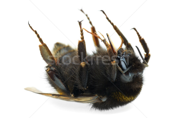 Dead bumblebee Stock photo © digitalr