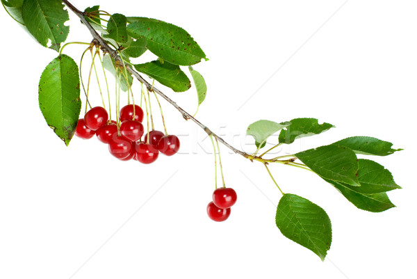 Cherry branch with leaves and few berries Stock photo © digitalr