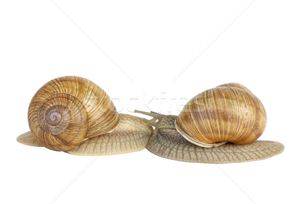 Pair of  snails kissing each other Stock photo © digitalr