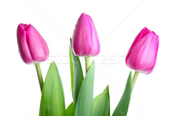 Three pink tulips  Stock photo © digitalr
