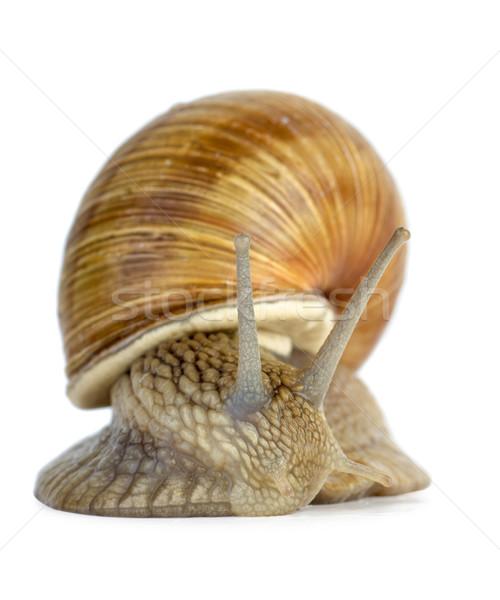 Csiga portré izolált fehér kagyló állat Stock fotó © digitalr