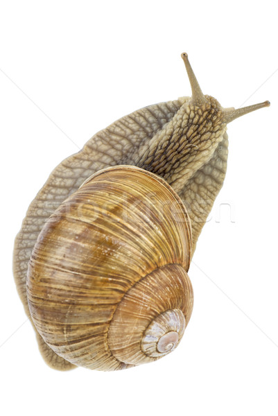 Snail. View from above.  Focus point - snails head Stock photo © digitalr