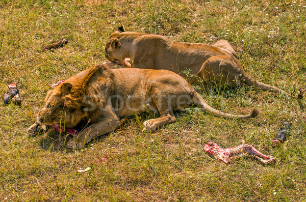 Two lions eating meat Stock photo © digitalr