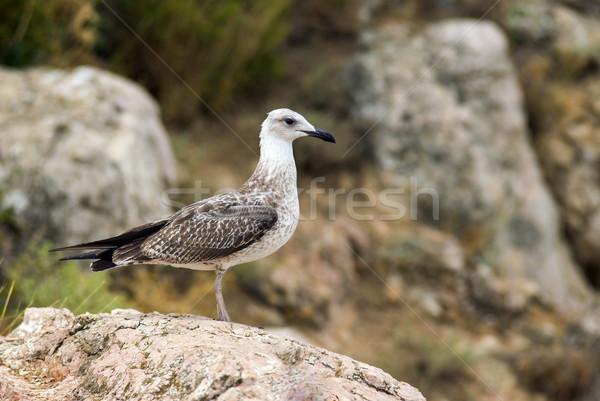 Mouette séance Rock mer montagne oiseau Photo stock © digitalr