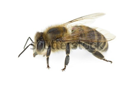Honey bee Stock photo © digitalr