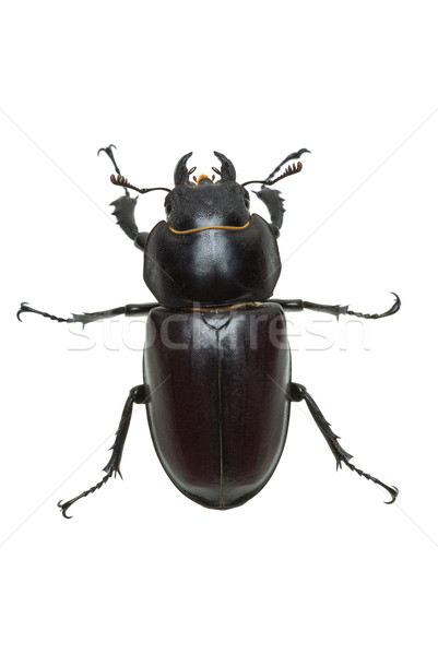 Crawling  female stag beetle (Lucanus cervus)  Stock photo © digitalr