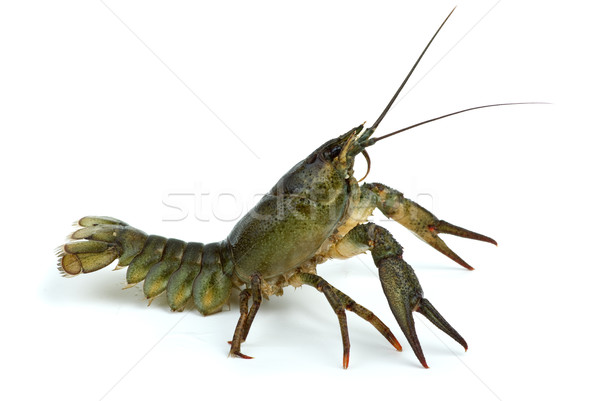 Crawfish in defensive position Stock photo © digitalr