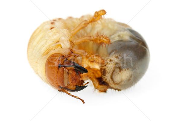 Cockchafer larva Stock photo © digitalr