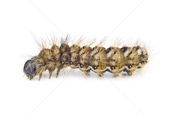 Stock photo: Brown arctia caja larva