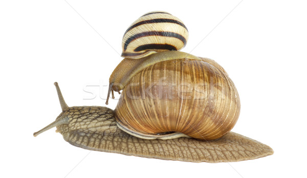 Two snails Stock photo © digitalr