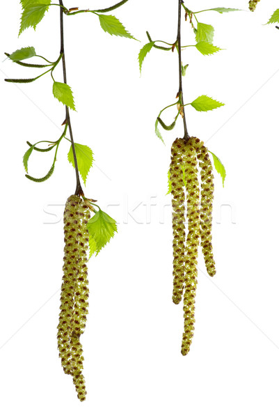 Two blossoming birch branches Stock photo © digitalr