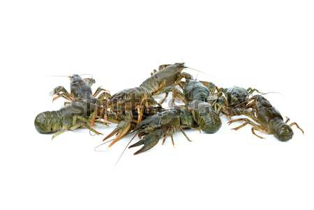 Few crawfishes Stock photo © digitalr