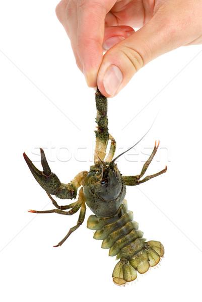 Hand holding live crawfish Stock photo © digitalr