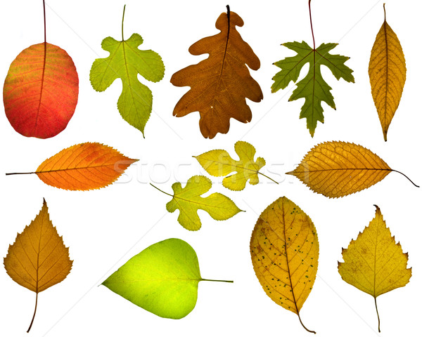 Set of different autumnal leaves Stock photo © digitalr