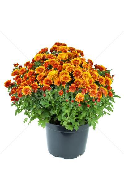 オレンジ 菊 花 孤立した 白 ストックフォト © digitalr