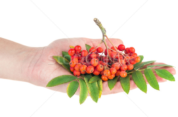 Mano mantener rojo Berry hoja verde Foto stock © digitalr