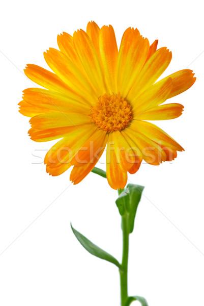 Calendula flower Stock photo © digitalr