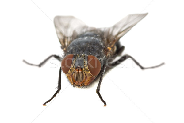 Fly 'portrait' Stock photo © digitalr