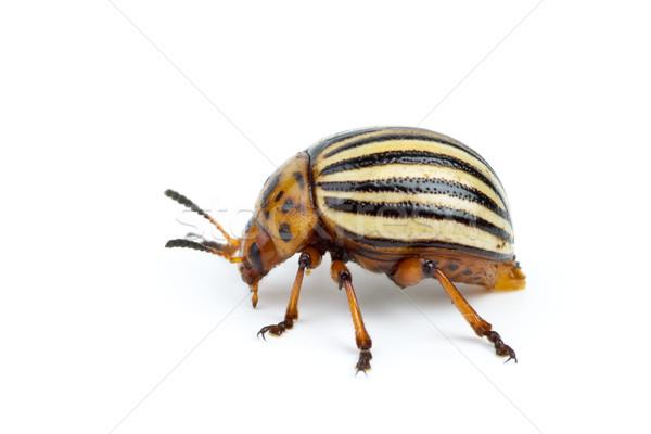 Colorado potato beetle close-up Stock photo © digitalr