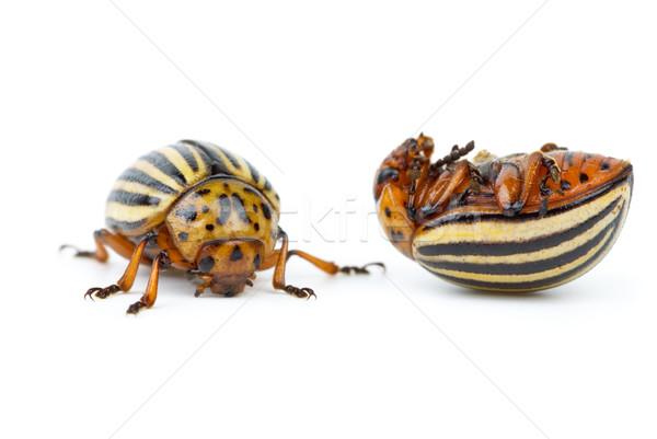 Live and dead colorado potato beetles Stock photo © digitalr