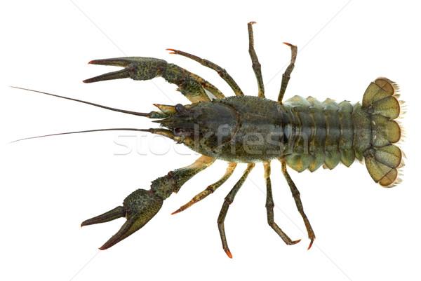 Widok z góry odizolowany biały żywności zielone homara Zdjęcia stock © digitalr