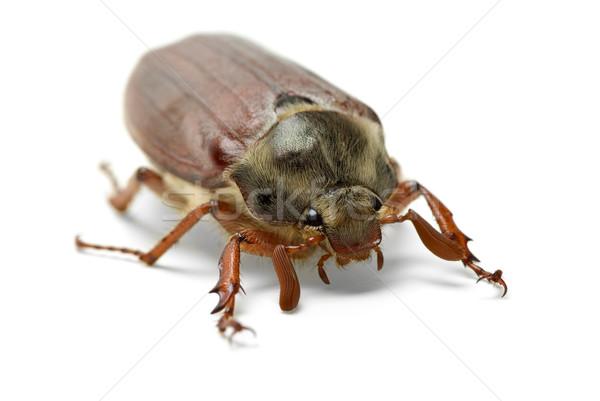 Cockchafer (Melontha vulgaris) Stock photo © digitalr