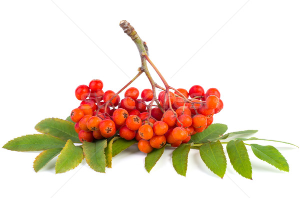 Rowan (ashberry) cluster Stock photo © digitalr
