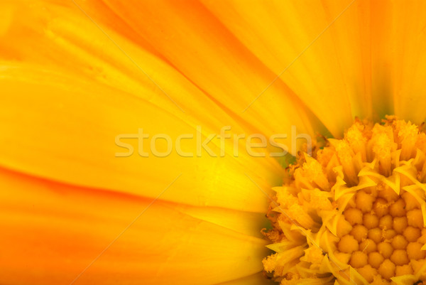 Floral background: Close-up shot of orange calendula flower Stock photo © digitalr