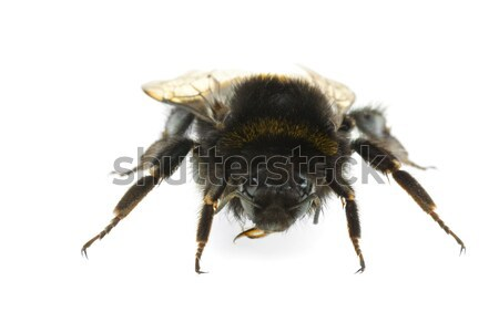 Bumblebee 'portrait' Stock photo © digitalr