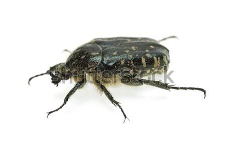 Alleculid beetle (Tropinota (Epicometis) hirta Poda (Scarabaeidae)) Stock photo © digitalr