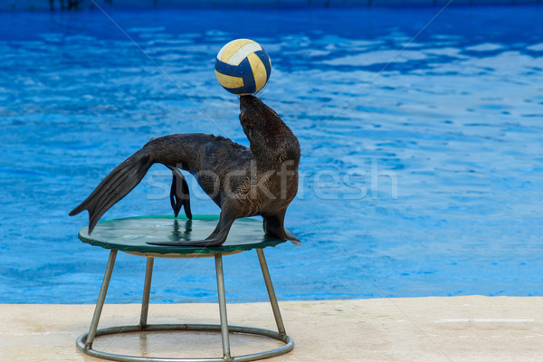 Fur seal with ball Stock photo © digitalr