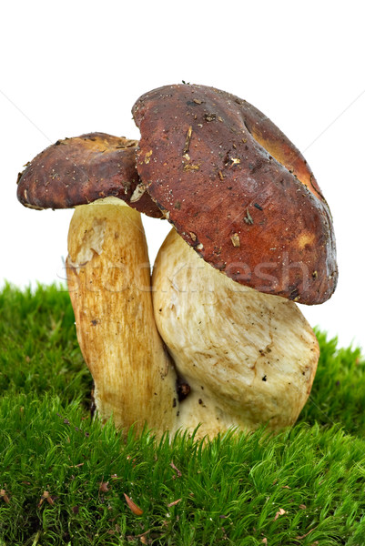 Boletus badius (Xerocomus badius) mushrooms  Stock photo © digitalr