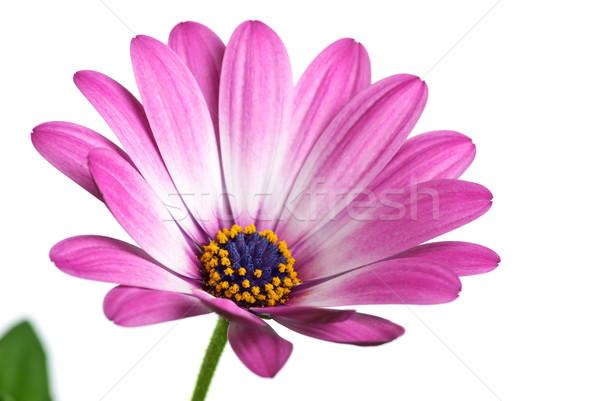 Closeup shot of pink arctotis flower Stock photo © digitalr