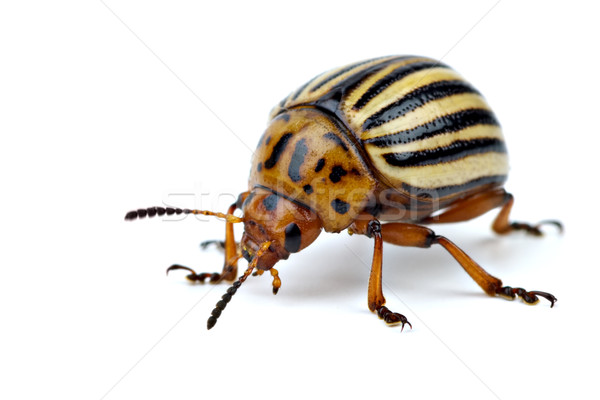 Potato bug (leptinotarsa decemlineata) Stock photo © digitalr