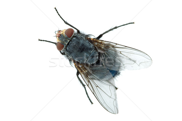Big meat fly Stock photo © digitalr