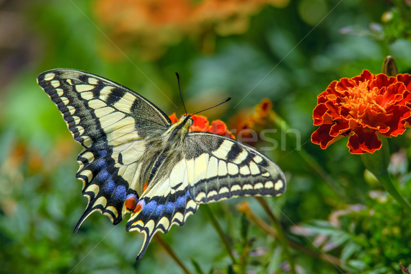 Swallowtail butterfly on the marygold flower Stock photo © digitalr