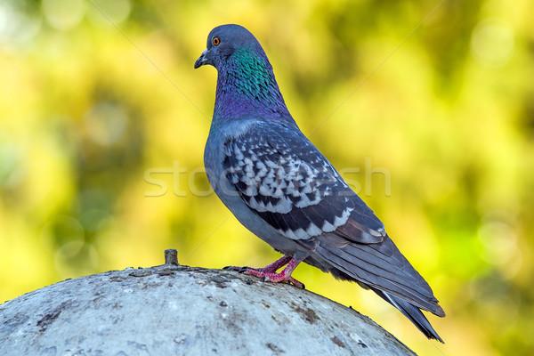 Gri güvercin ayakta doğa kuş park Stok fotoğraf © digitalr
