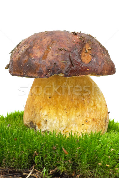 Boletus growning on the moss Stock photo © digitalr
