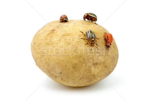 Potato infested with colorado potato beetles and grubs Stock photo © digitalr