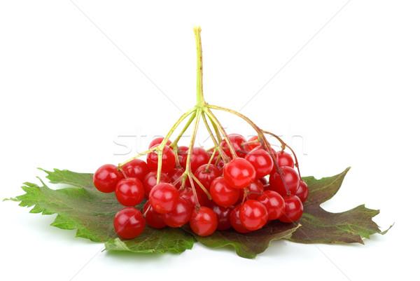 Viburnum berries and leaves Stock photo © digitalr