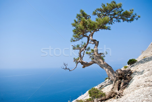Lone fir tree at edge of the cliff Stock photo © digitalr