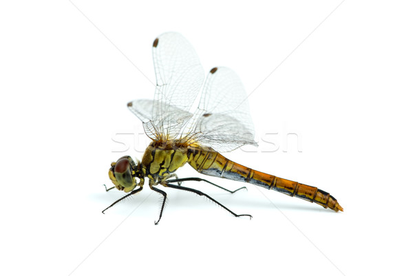 Dragonfly Stock photo © digitalr