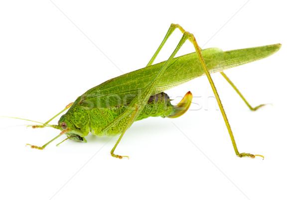 Duży zielone konik polny odizolowany biały Zdjęcia stock © digitalr