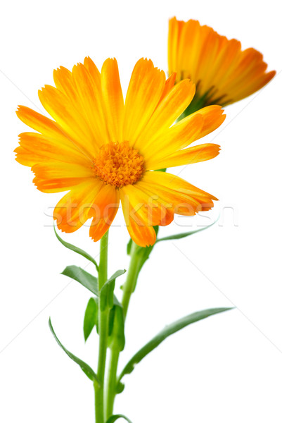 Herbs: Two calendula flowers Stock photo © digitalr