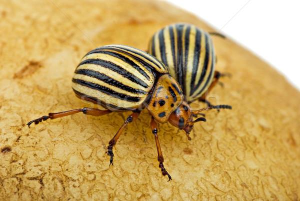 Two potato bugs (leptinotarsa decemlineata) on the potato Stock photo © digitalr