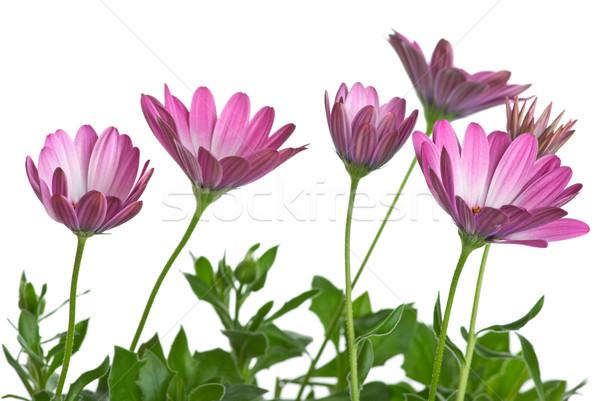 Kevés rózsaszín virágok izolált fehér virág Stock fotó © digitalr