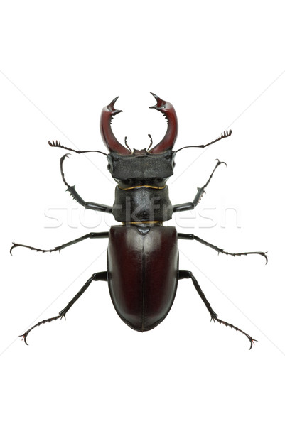 Crawling  male stag beetle (Lucanus cervus)  Stock photo © digitalr