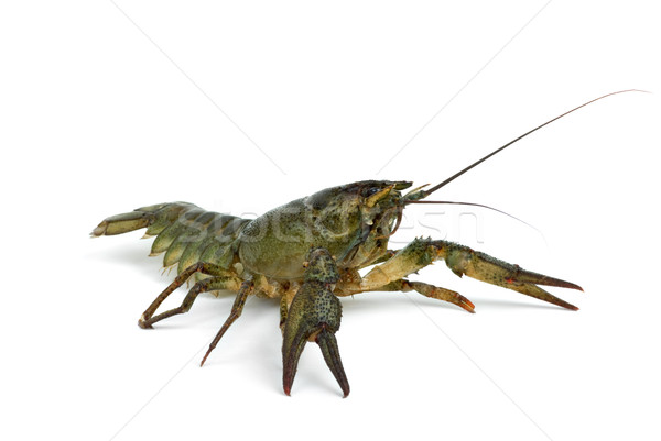 Crawfish in defensive position Stock photo © digitalr