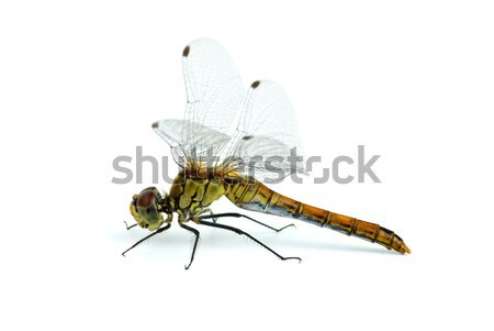 Big blue dragonfly (Libellula depressa) Stock photo © digitalr