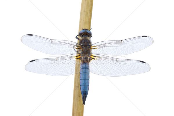 Big blue dragonfly (Libellula depressa) sitting on the cane stalk Stock photo © digitalr